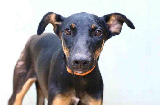 לוליטה כלבה לאימוץ אגודת צער בעלי חיים בישראל