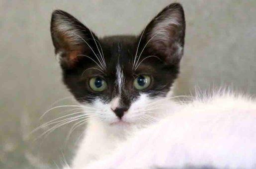 לילי חתולה לאימוץ אגודת צער בעלי חיים בישראל