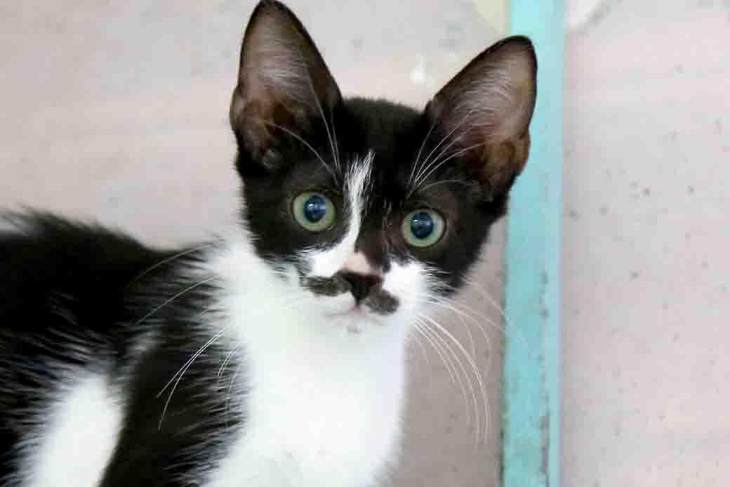 אווה חתולה לאימוץ אגודת צער בעלי חיים בישראל