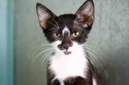 סשה חתול לאימוץ אגודת צער בעלי חיים בישראל