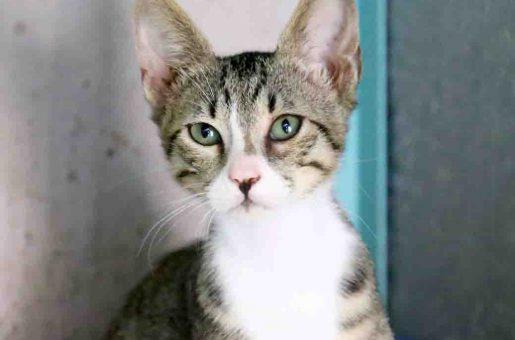 טוליפ חתול לאימוץ אגודת צער בעלי חיים בישראל