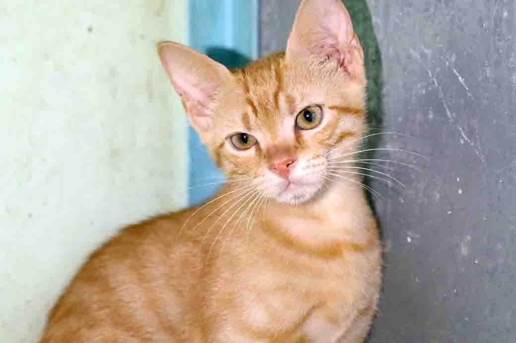 ברסיק חתול לאימוץ אגודת צער בעלי חיים בישראל