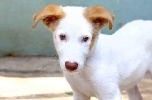 קווין כלבה לאימוץ אגודת צער בעלי חיים בישראל