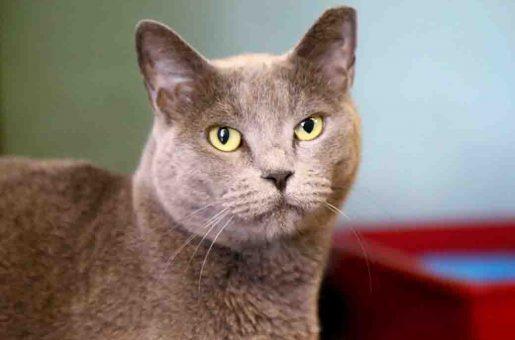 קטי חתולה לאימוץ אגודת צער בעלי חיים בישראל