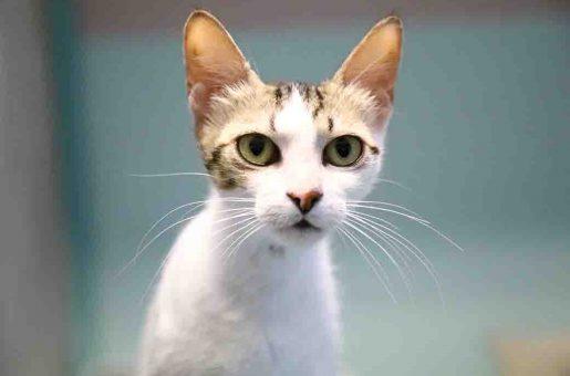 לוסי חתולה לאימוץ אגודת צער בעלי חיים בישראל