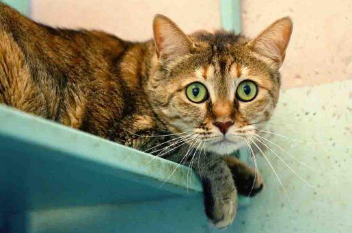 פומה חתולה לאימוץ אגודת צער בעלי חיים בישראל