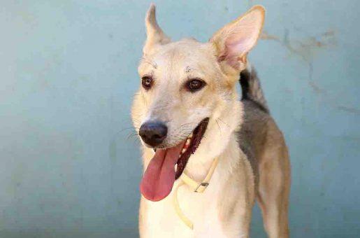 ג'ונסון כלב לאימוץ אגודת צער בעלי חיים בישראל