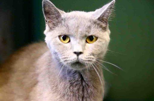 שירלי חתולה לאימוץ אגודת צער בעלי חיים בישראל