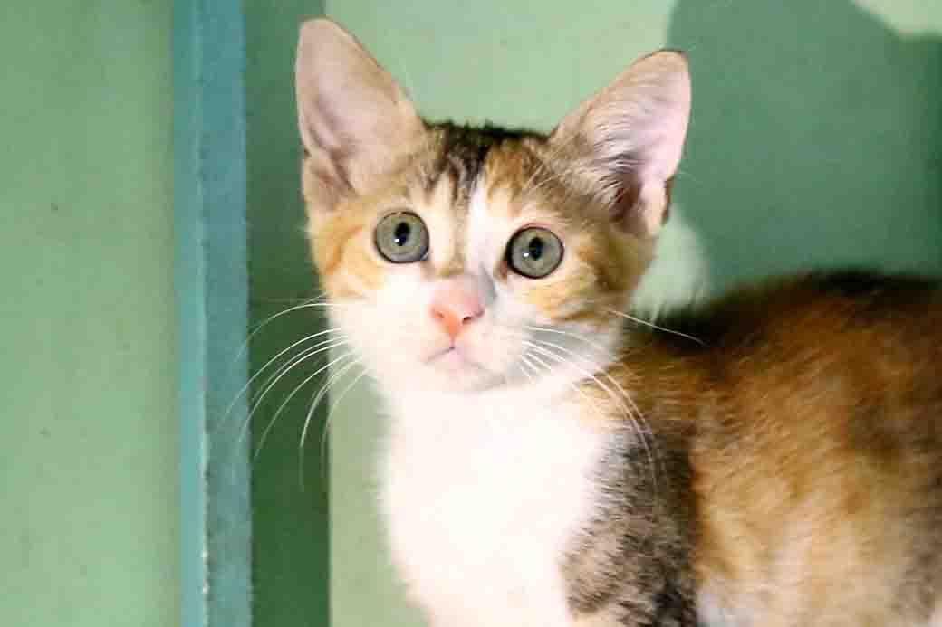 סיה חתולה לאימוץ אגודת צער בעלי חיים בישראל