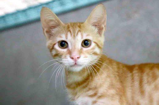 רמבו חתול לאימוץ אגודת צער בעלי חיים בישראל