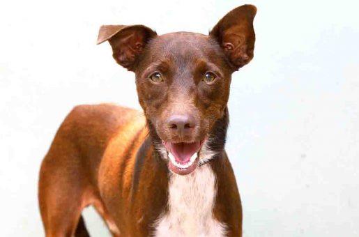 ברונו כלב לאימוץ אגודת צער בעלי חיים בישראל