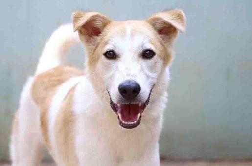 אמיגו כלב לאימוץ אגודת צער בעלי חיים בישראל