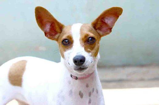 אינפי כלבה לאימוץ אגודת צער בעלי חיים בישראל