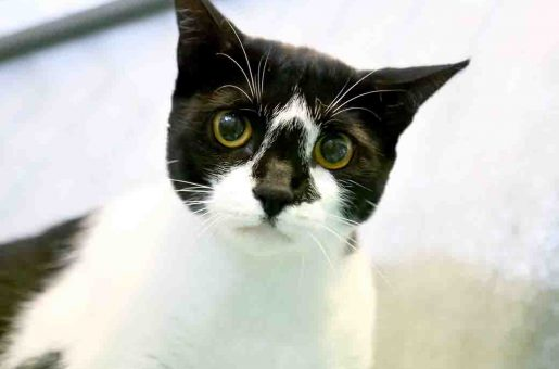 זברה חתולה לאימוץ אגודת צער בעלי חיים בישראל