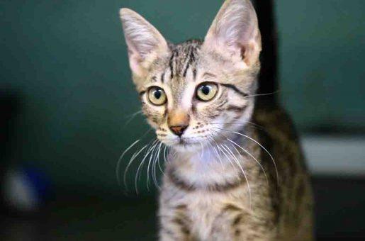 מותק חתול לאימוץ אגודת צער בעלי חיים בישראל