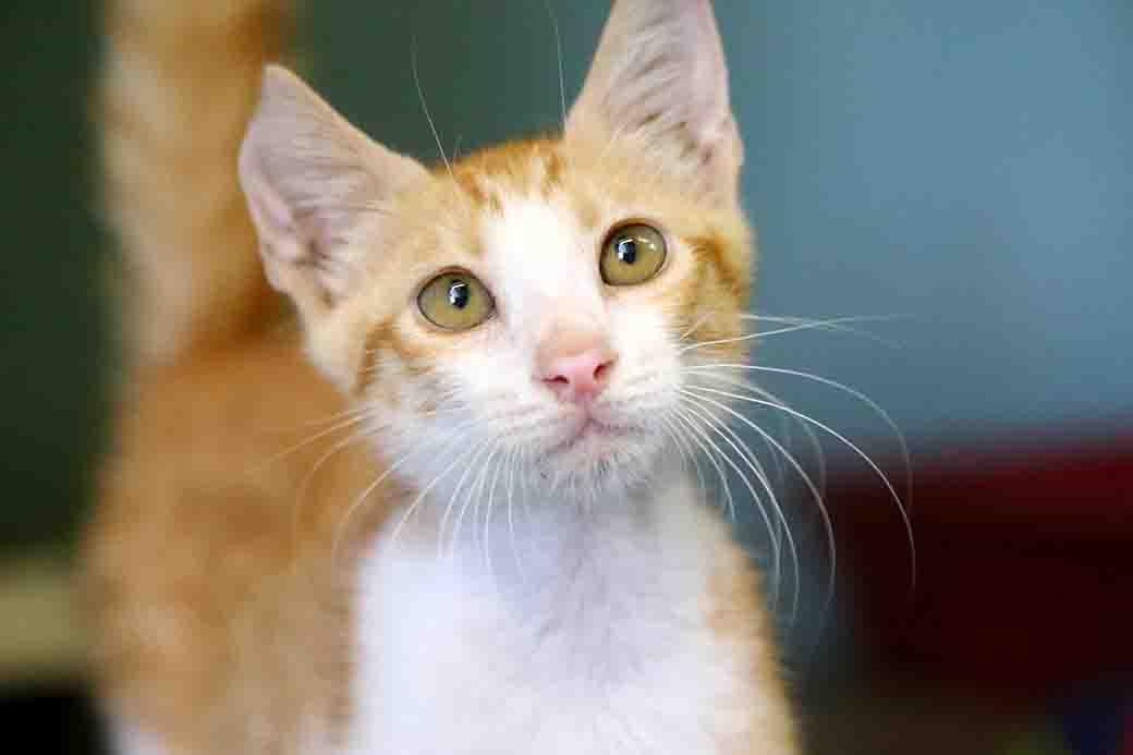 עמוס חתול לאימוץ אגודת צער בעלי חיים בישראל