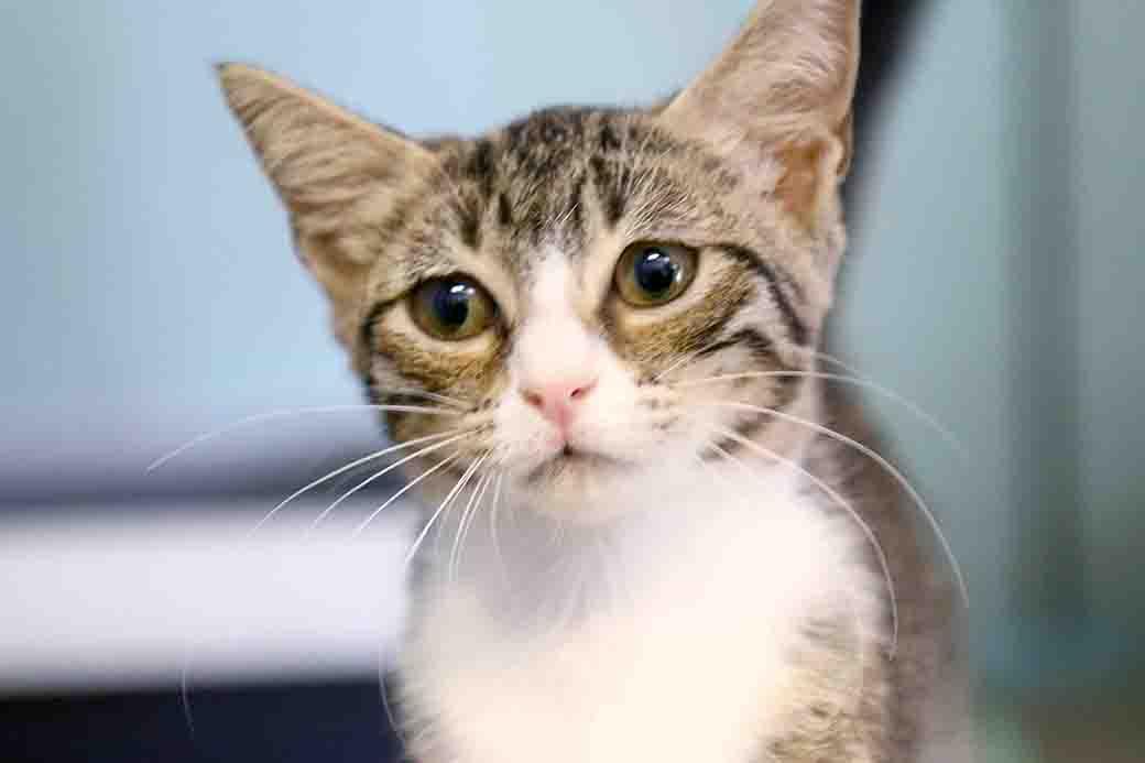 ונסה חתולה לאימוץ אגודת צער בעלי חיים בישראל