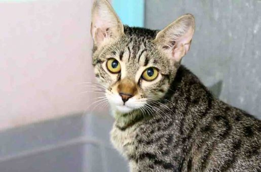 צ'ופה חתולה לאימוץ אגודת צער בעלי חיים בישראל