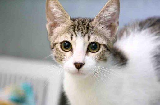 בסיק חתול לאימוץ אגודת צער בעלי חיים בישראל
