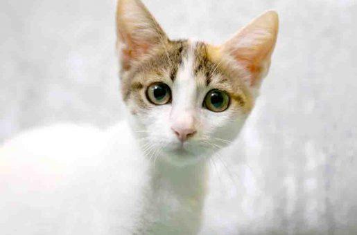 בלה חתולה לאימוץ אגודת צער בעלי חיים בישראל