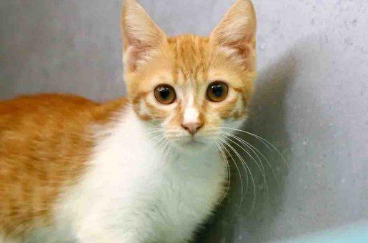 מסניה חתולה לאימוץ אגודת צער בעלי חיים בישראל