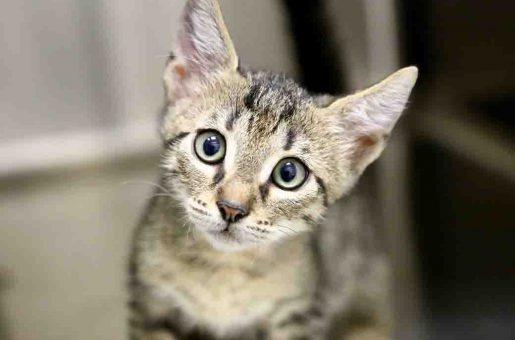 פנחס חתול לאימוץ אגודת צער בעלי חיים בישראל