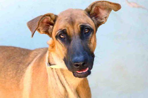 צ'יקה כלבה לאימוץ אגודת צער בעלי חיים בישראל