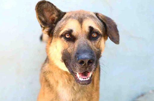 רינו כלב לאימוץ אגודת צער בעלי חיים בישראל