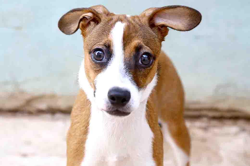 קנדי כלבה לאימוץ אגודת צער בעלי חיים בישראל