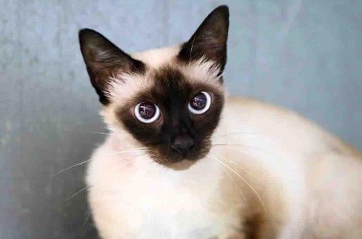 ג'קלין חתולה לאימוץ אגודת צער בעלי חיים בישראל