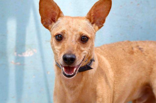 ווילי כלב לאימוץ אגודת צער בעלי חיים בישראל