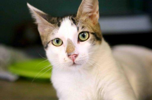 טיטי חתול לאימוץ אגודת צער בעלי חיים בישראל