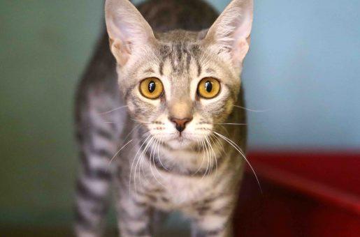 קייט חתולה לאימוץ אגודת צער בעלי חיים בישראל