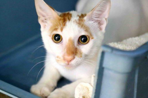רסטי חתול לאימוץ אגודת צער בעלי חיים בישראל