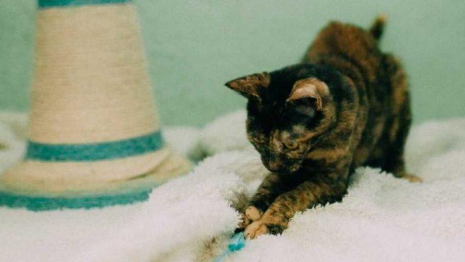 מארה- חתולה לאימוץ - אגודת צער בעלי חיים בישראל