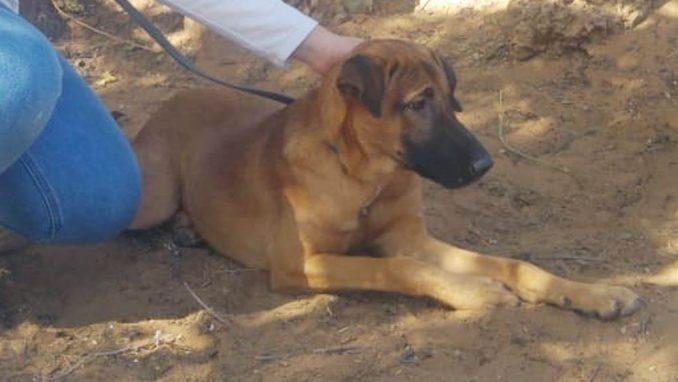 שאול - כלב לאימוץ - אגודת צער בעלי חיים בישראל