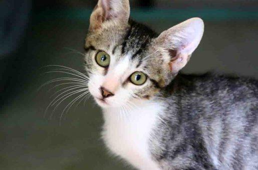 מוש חתול לאימות אגודת צער בעלי חיים בישראל
