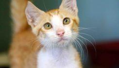 עמוס - חתול לאימוץ - אגודת צער בעלי חיים בישראל