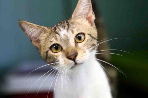ספירלה חתול לאימוץ אגודת צער בעלי חיים בישראל