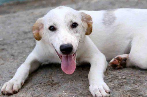 אוסקר כלב לאימוץ אגודת צער בעלי חיים בישראל