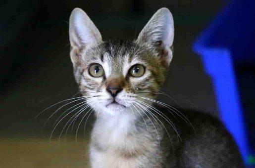 שוש חתולה לאימוץ אגודת צער בעלי חיים בישראל