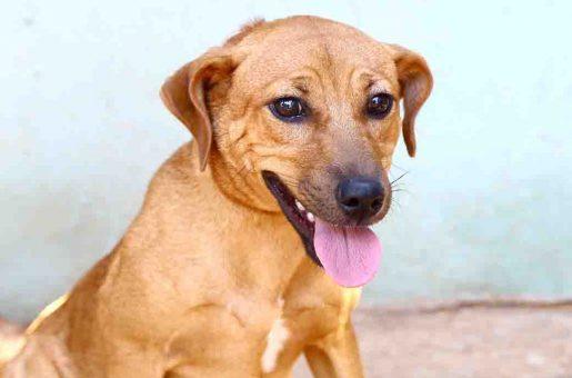 צ'ומפי כלב לאימוץ אגודת צער בעלי חיים בישראל