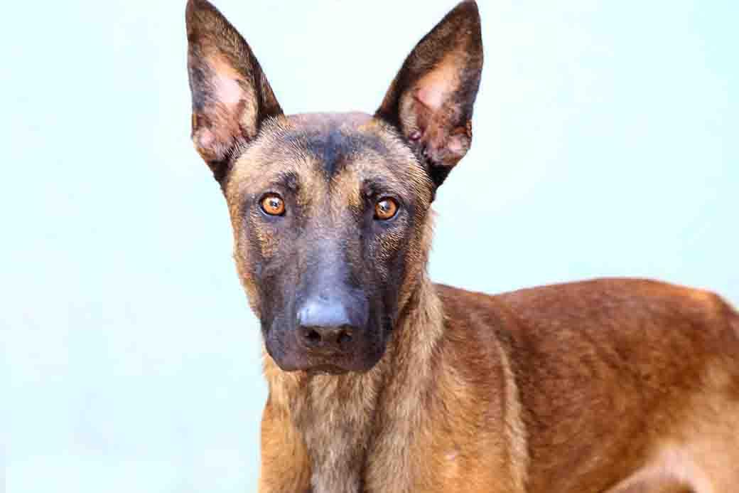 דב כלב לאימוץ אגודת צער בעלי חיים בישראל