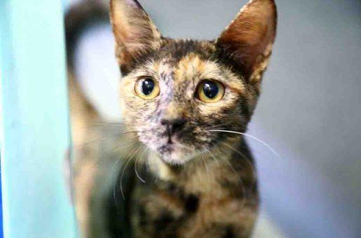 מארה חתולה לאימוץ אגודת צער בעלי חיים בישראל