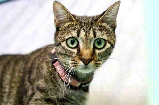 משמש חתולה לאימוץ אגודת צער בעלי חיים בישראל
