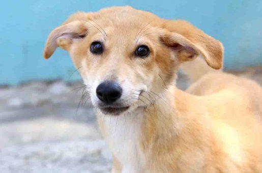 אדה כלבה לאימוץ אגודת צער בעלי חיים בישראל