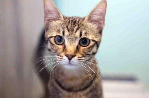 סוכר חתולה לאימוץ אגודת צער בעלי חיים בישראל