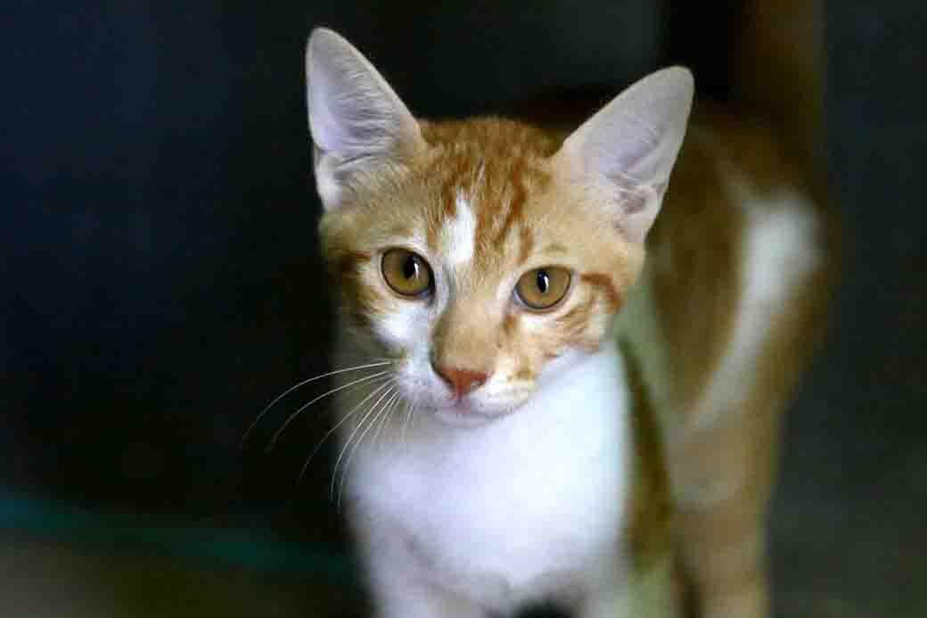 סטייסי חתולה לאימוץ אגדות צער בעלי חיים בישראל