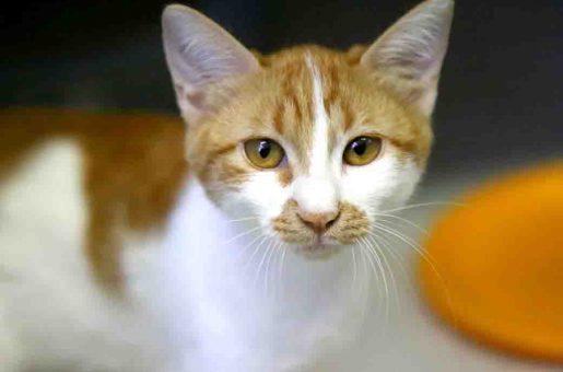 נינג'ה חתול לאימוץ אגודת צער בעלי חיים בישראל