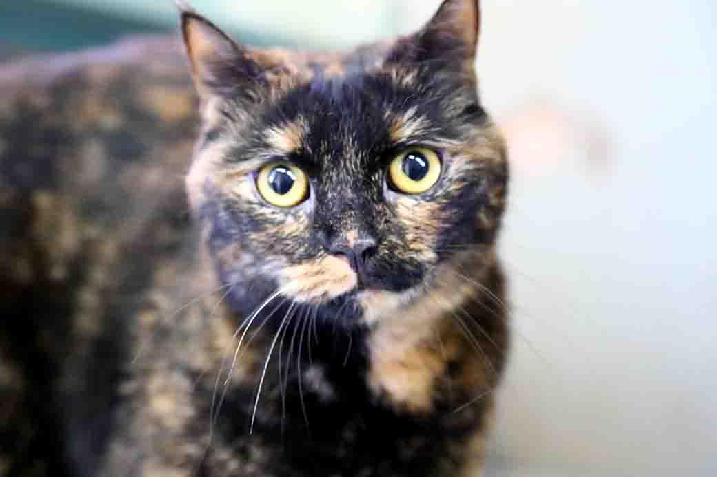 ליצ'י חתולה לאימוץ אגודת צער בעלי חיים בישראל